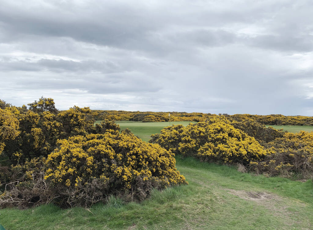 gorse on the 1562
